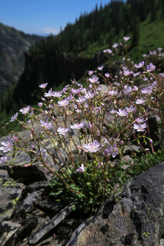 Columbia lewisia (Lewisia columbiana) [Ed's Trail, Gifford Pinchot National Forest, Washington]