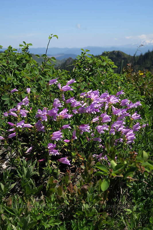 Cardwell's penstemon (Penstemon cardwellii) [Ed's Trail, Gifford Pinchot National Forest, Washington]
