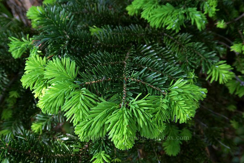 Pacific silver fir, new growth (Abies amabilis) [Ed's Trail, Gifford Pinchot National Forest, Washington]