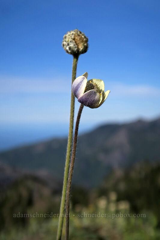 Pacific anemone (Anemone multifida) [Hurricane Hill summit, Olympic National Park, Washington]