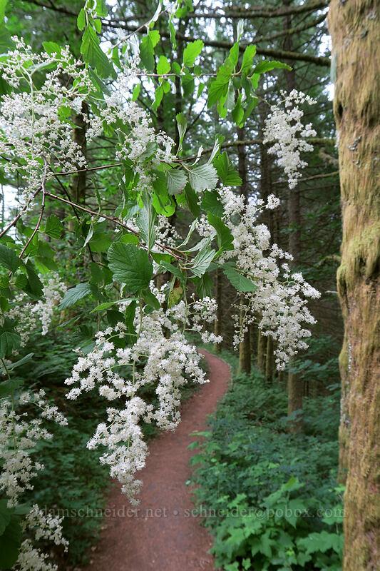 ocean spray (cream-bush) (Holodiscus discolor) [Hadley Trail, Beacon Rock State Park, Washington]