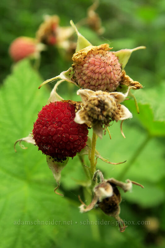 thimbleberries (Rubus parviflorus) [Hamilton Mountain Trail, Beacon Rock State Park, Washington]