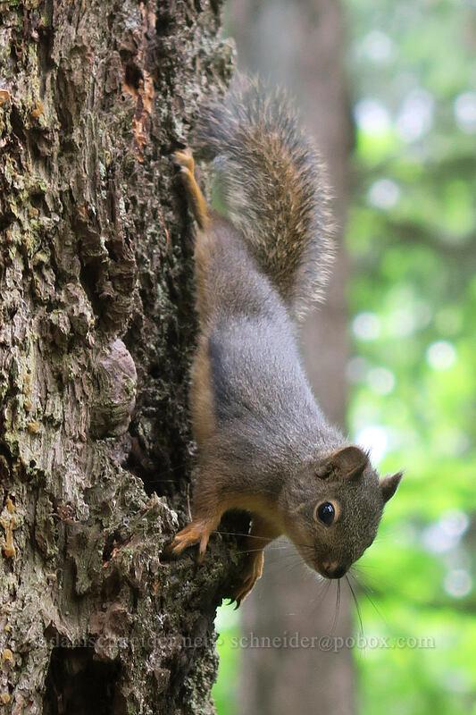 Douglas' squirrel (Tamiasciurus douglasii) [Hamilton Mountain Trail, Beacon Rock State Park, Washington]