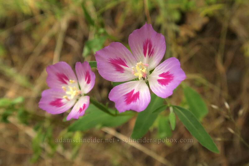 farewell-to-spring (Clarkia amoena) [Hamilton Mountain Trail, Beacon Rock State Park, Washington]