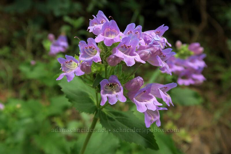 Cascade penstemon (Penstemon serrulatus) [Hamilton Mountain Trail, Beacon Rock State Park, Washington]