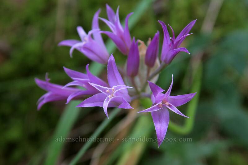 taper-tip onion (Allium acuminatum) [Hamilton Mountain Trail, Beacon Rock State Park, Washington]