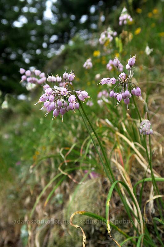 nodding onion (Allium cernuum) [Hamilton Mountain Trail, Beacon Rock State Park, Washington]