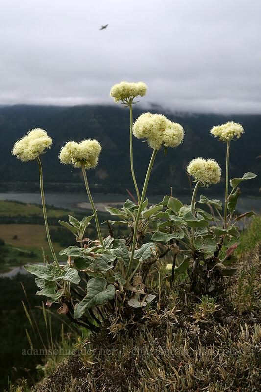 heart-leaf buckwheat (Eriogonum compositum) [Little Hamilton Mountain, Beacon Rock State Park, Washington]