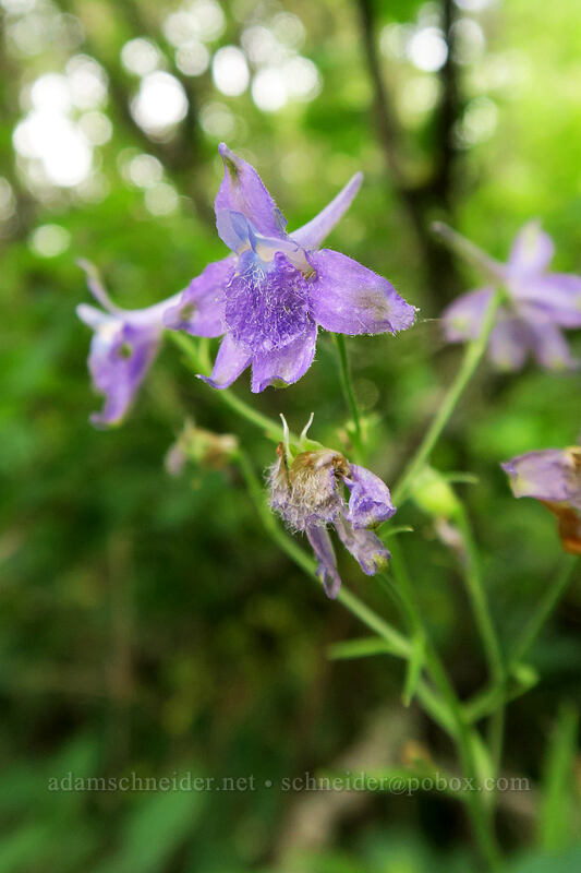 larkspur (Delphinium sp.) [Hamilton Mountain Trail, Beacon Rock State Park, Washington]