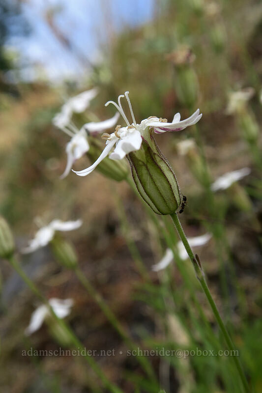 Cascade catchfly (Silene suksdorfii) [Hamilton Mountain Trail, Beacon Rock State Park, Washington]