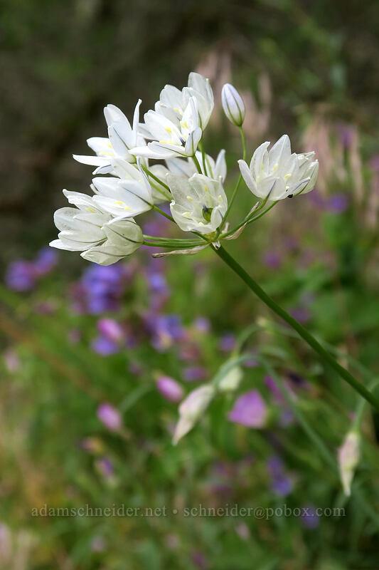 white brodiaea (wild hyacinth) (Triteleia hyacinthina) [Hamilton Mountain Trail, Beacon Rock State Park, Washington]