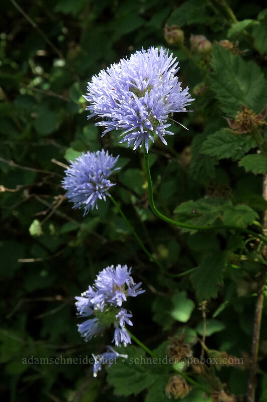blue-head gilia (Gilia capitata) [Hamilton Mountain Trail, Beacon Rock State Park, Washington]