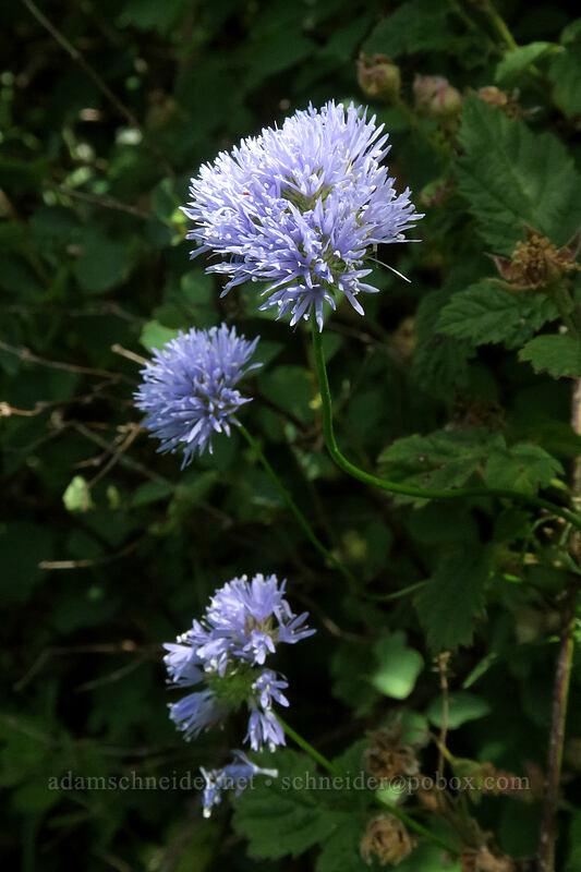 blue-head gilia (Gilia capitata) [Hamilton Mountain Trail, Beacon Rock State Park, Washington]