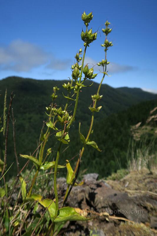 fine-tooth penstemon, budding (Penstemon subserratus) [Hamilton Mountain, Beacon Rock State Park, Washington]