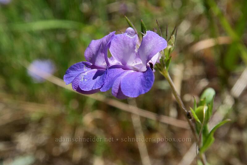 large-flowered blue-eyed-Mary (Collinsia grandiflora) [Hamilton Mountain Trail, Beacon Rock State Park, Washington]
