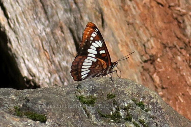 Lorquin's admiral butterfly (Limenitis lorquini) [Hamilton Mountain Trail, Beacon Rock State Park, Washington]