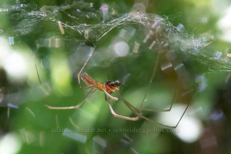 spider in a dome-shaped web [Hamilton Mountain Trail, Beacon Rock State Park, Washington]
