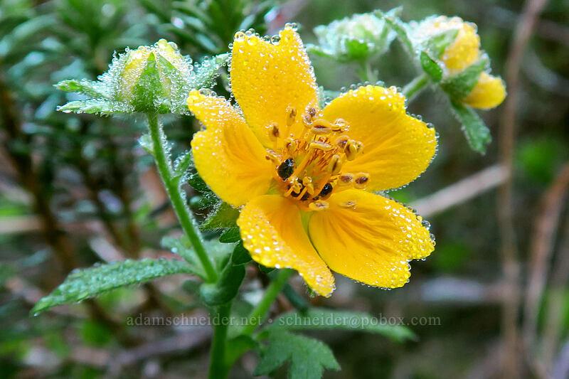 dew on fan-leaf cinquefoil (Potentilla flabellifolia) [Sunrise Mine Trail, Mount Baker-Snoqualmie National Forest, Washington]