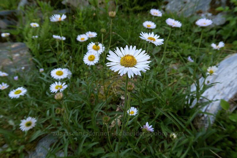 subalpine fleabane (Erigeron glacialis var. glacialis) [Sunrise Mine Trail, Mount Baker-Snoqualmie National Forest, Washington]