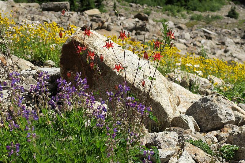 columbine, lupine, & arnica (Aquilegia formosa, Lupinus sp., Arnica latifolia) [Sunrise Mine Trail, Morning Star NRCA, Washington]