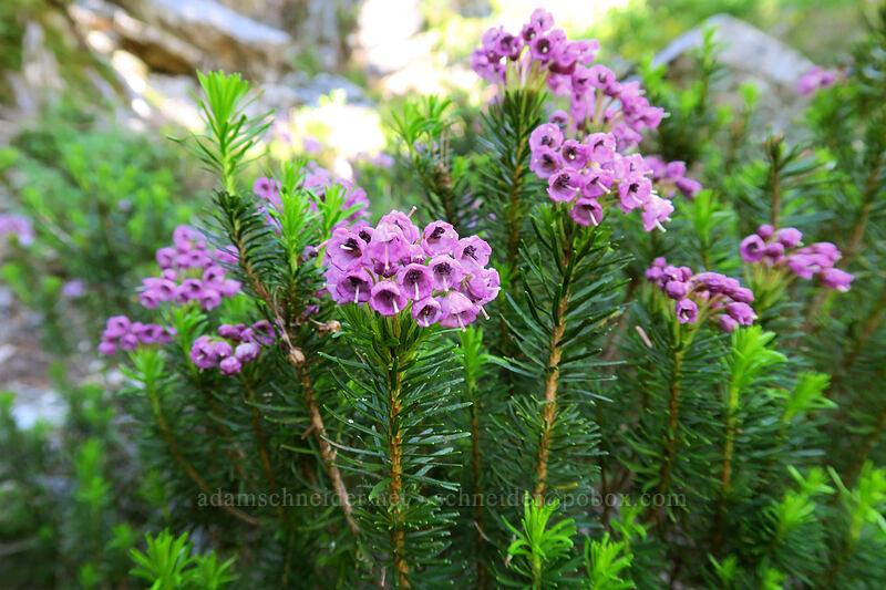 pink mountain heather (Phyllodoce empetriformis) [Sunrise Mine Trail, Morning Star NRCA, Washington]