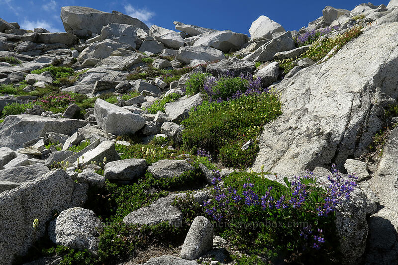 lupines & partridgefoot (Lupinus latifolius, Luetkea pectinata) [Vesper Peak summit, Mount Baker-Snoqualmie National Forest, Washington]