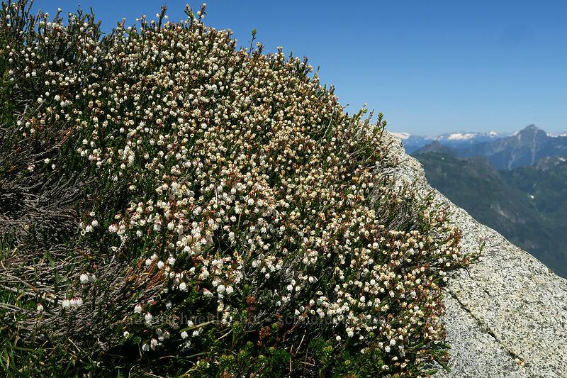white mountain heather (Cassiope mertensiana) [Vesper Peak summit, Mount Baker-Snoqualmie National Forest, Washington]