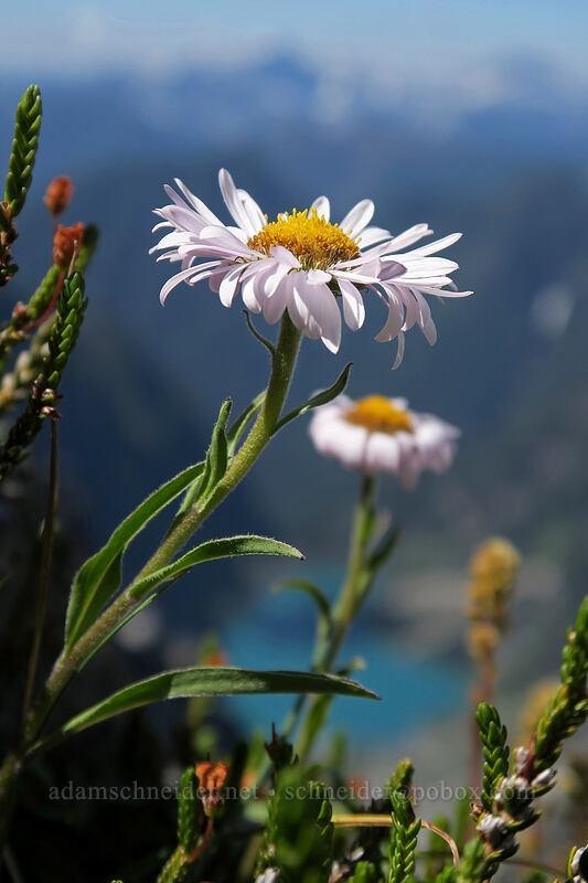 subalpine fleabane (Erigeron glacialis var. glacialis) [Vesper Peak summit, Mount Baker-Snoqualmie National Forest, Washington]