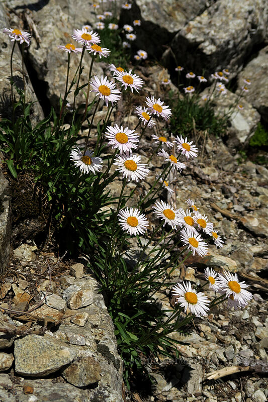 subalpine fleabane (Erigeron glacialis var. glacialis) [Sperry Peak, Morning Star NRCA, Washington]