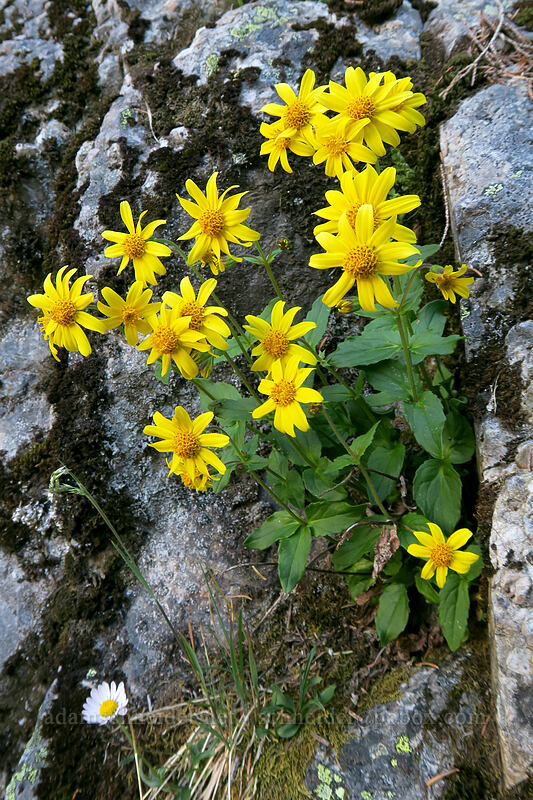 mountain arnica (Arnica latifolia) [Sunrise Mine Trail, Morning Star NRCA, Washington]