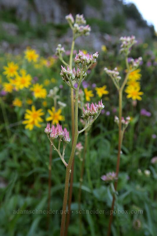 leather-leaf saxifrage (Leptarrhena pyrolifolia (Saxifraga pyrolifolia)) [Sunrise Mine Trail, Morning Star NRCA, Washington]