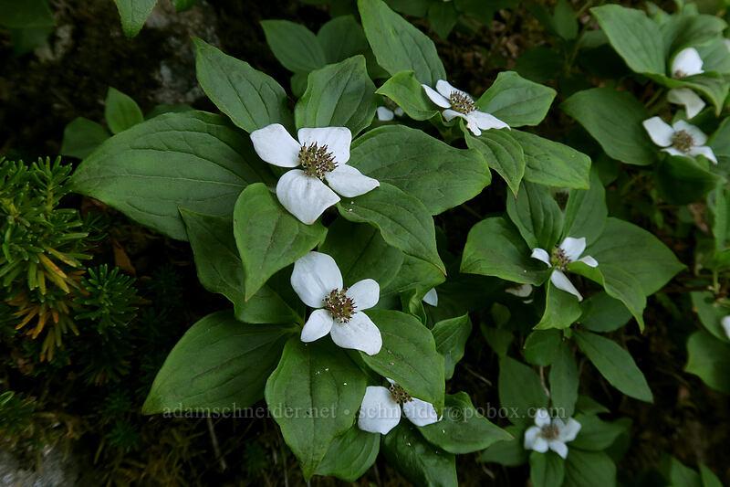 bunchberry flowers (Cornus unalaschkensis (Cornus canadensis)) [Mount Pilchuck Trail, Mount Pilchuck State Park, Washington]