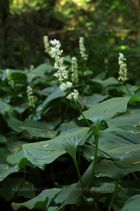 false lily-of-the-valley (Maianthemum dilatatum) [Mount Pilchuck Trail, Mount Pilchuck State Park, Washington]