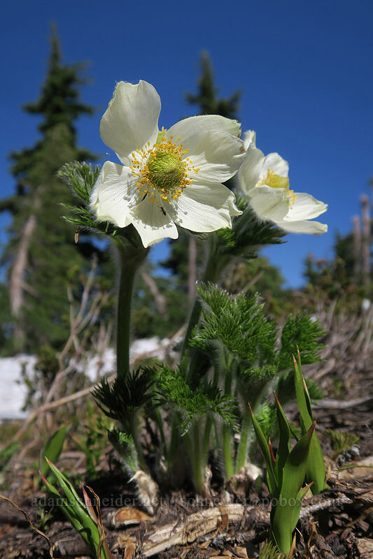 western pasqueflowers (Anemone occidentalis) [Vista Ridge Trail, Mt. Hood Wilderness, Oregon]