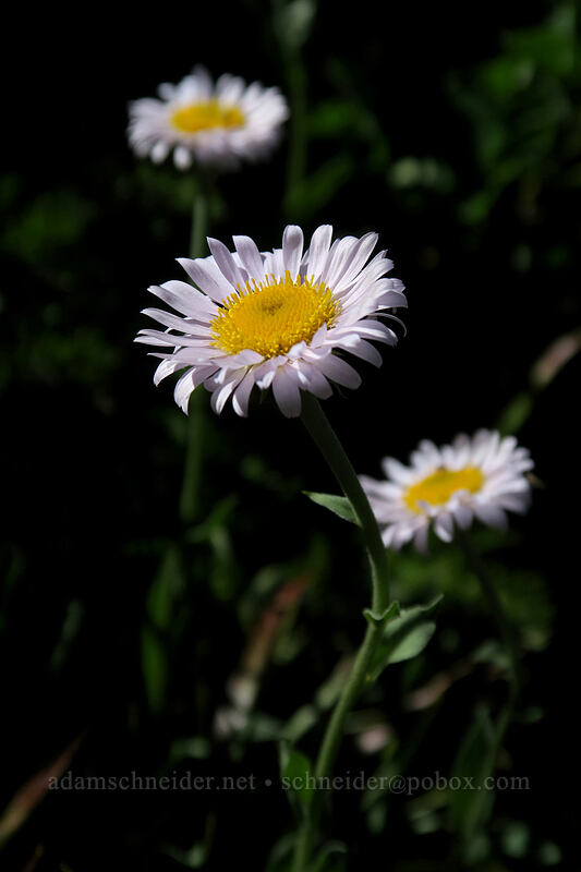 subalpine fleabane (wandering daisy) (Erigeron glacialis var. glacialis (Erigeron peregrinus)) [Vista Ridge Trail, Mt. Hood Wilderness, Oregon]