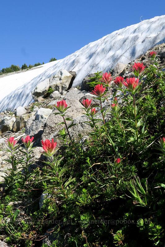 magenta paintbrush & snowfields (Castilleja parviflora var. oreopola) [above Wy'East Basin, Mt. Hood Wilderness, Oregon]
