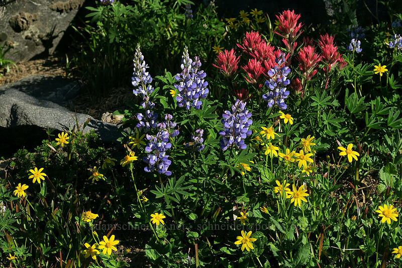 lupines, paintbrush, & arnica (Lupinus latifolius, Castilleja parviflora var. oreopola, Arnica sp.) [above Wy'East Basin, Mt. Hood Wilderness, Oregon]