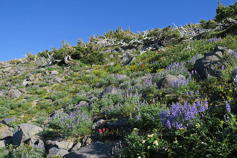 subalpine wildflowers [above Wy'East Basin, Mt. Hood Wilderness, Oregon]