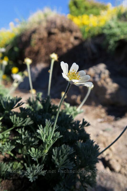 Drummond's anemone (Anemone drummondii) [below Barrett Spur, Mt. Hood Wilderness, Oregon]