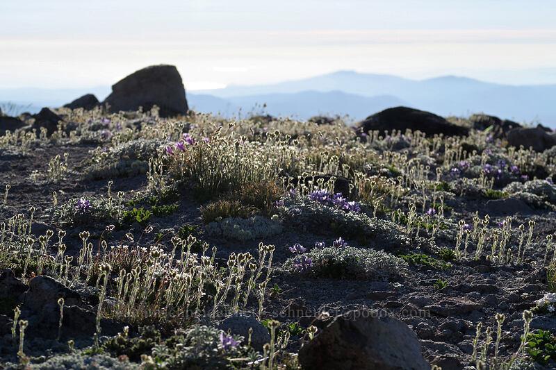 alpine pussy-toes (Antennaria media) [below Barrett Spur, Mt. Hood Wilderness, Oregon]