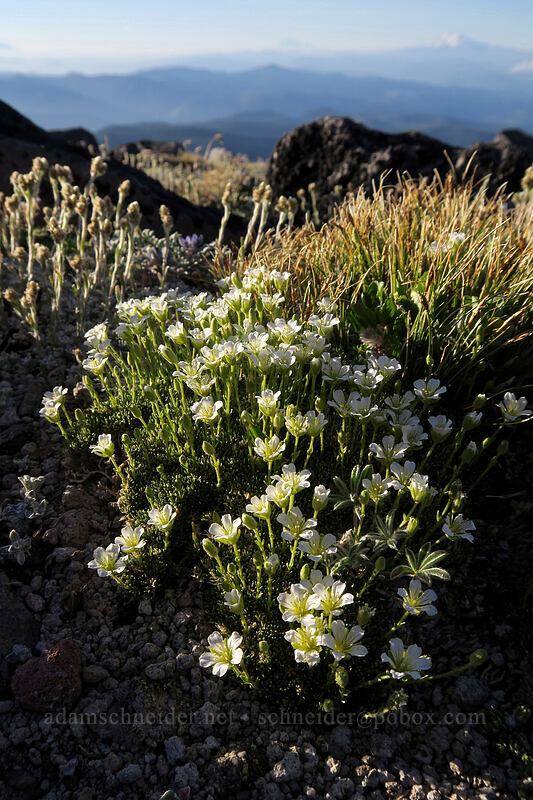 tufted saxifrage (Saxifraga caespitosa) [below Barrett Spur, Mt. Hood Wilderness, Oregon]