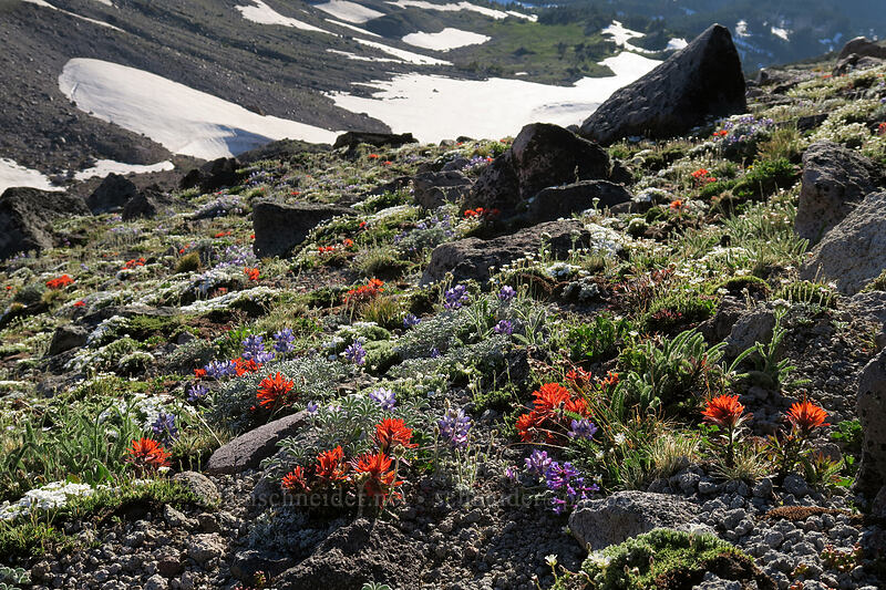 alpine wildflowers [below Barrett Spur, Mt. Hood Wilderness, Oregon]