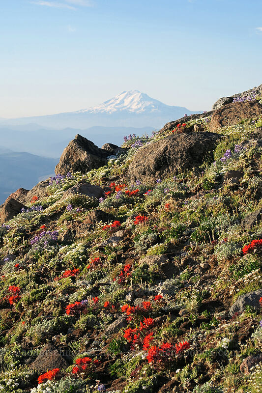 alpine wildflowers & Mt. Adams [below Barrett Spur, Mt. Hood Wilderness, Oregon]