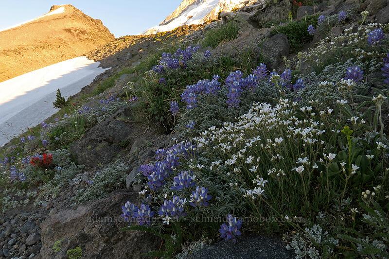 tufted saxifrage & dwarf lupines (Saxifraga caespitosa, Lupinus lepidus var. lobbii) [above Dollar Lake, Mt. Hood Wilderness, Oregon]