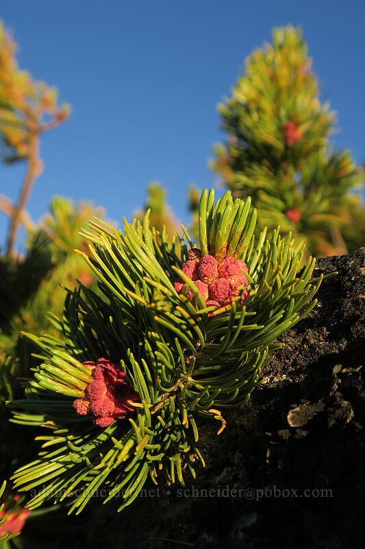 white-bark pine flowers (Pinus albicaulis) [above Dollar Lake, Mt. Hood Wilderness, Oregon]