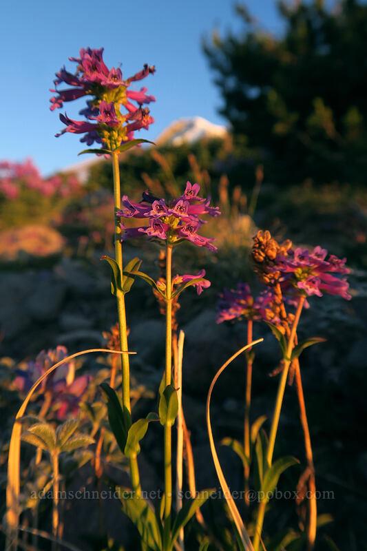 small-flowered penstemon, at sunset (Penstemon procerus) [above Dollar Lake, Mt. Hood Wilderness, Oregon]
