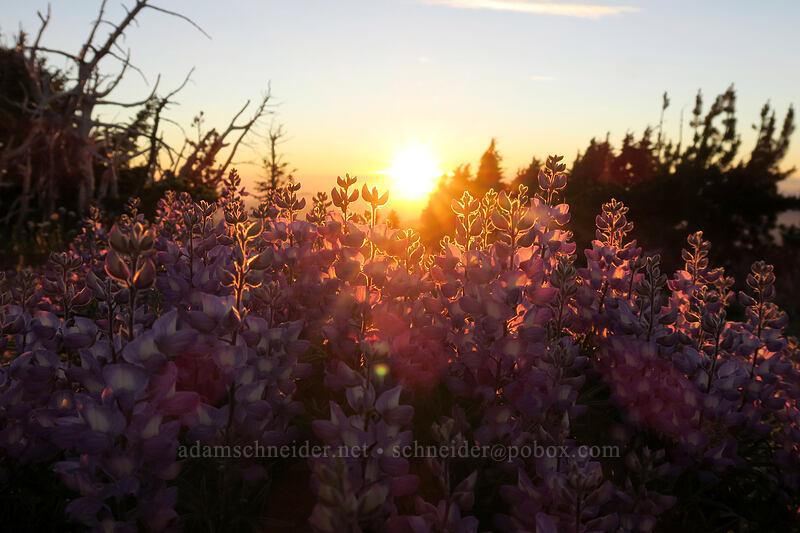 sunset & lupines (Lupinus latifolius) [above Dollar Lake, Mt. Hood Wilderness, Oregon]