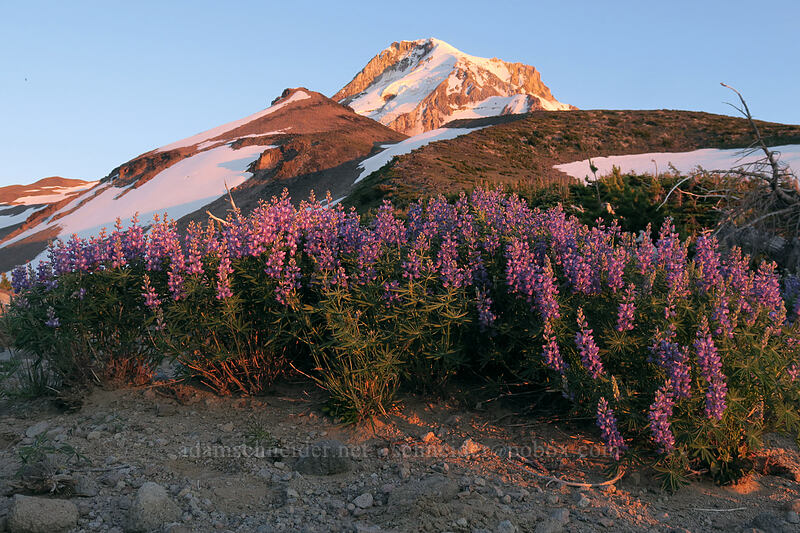 lupines at sunset (Lupinus latifolius) [above Dollar Lake, Mt. Hood Wilderness, Oregon]