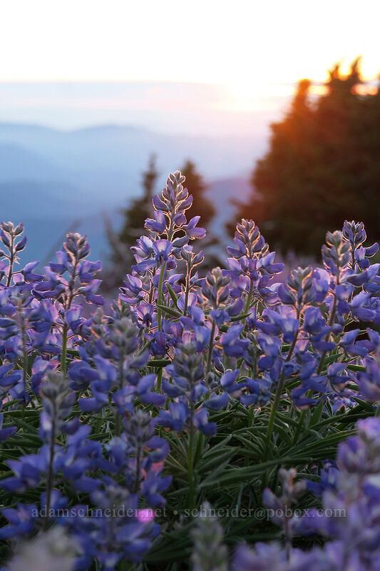 lupines (Lupinus latifolius) [above Dollar Lake, Mt. Hood Wilderness, Oregon]