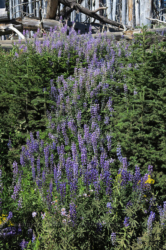 lupines (Lupinus latifolius) [Cloud Cap Road, Mt. Hood National Forest, Oregon]